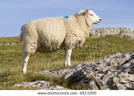 Female Sheep in the Peak District National Park - landscape orientation - stock photo