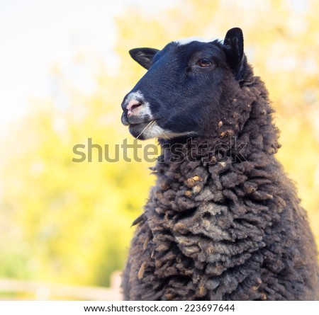 Female sheep portrait. Head of the one sheep, focus on the face. - stock photo