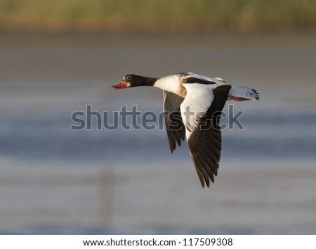 Female Shelduck (Tadorna tadorna) flying over the lake from the sea. - stock photo