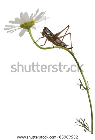 Female Shield-back Katydid, Platycleis tessellata, climbing flower in front of white background