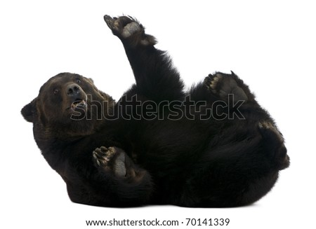 Female Siberian bear, 12 years old, lying in front of white background - stock photo