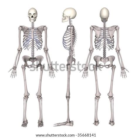 skeletal system stock photos royalty free images & vectors  : female skeleton diagram - findchart.co