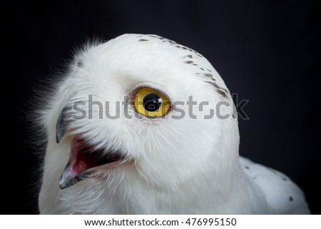Female Snowy Owl, Bubo scandiacus, portrait and close up against