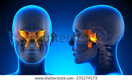 sphenoid bone stock images, royalty-free images & vectors, Human Body