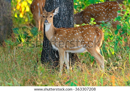 Female spotted deer or chital (Axis axis), Kanha National Park, India - stock photo