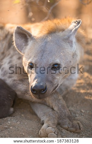 Female Spotted Hyena in Kruger National Park, South Africa - stock photo