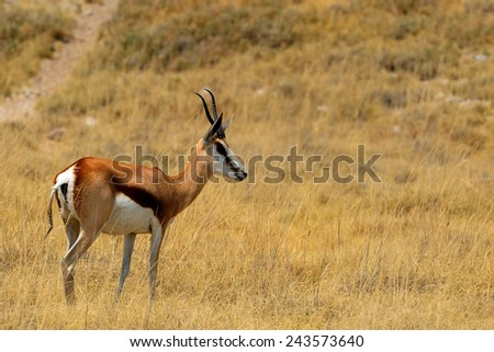 Female springbok