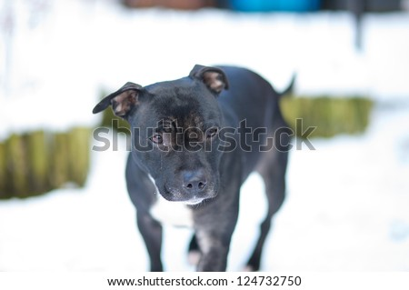 Female staffordshire bullterrier with a tear from her right eye and a hair across her brow trying to work out where all the snow has come from - stock photo
