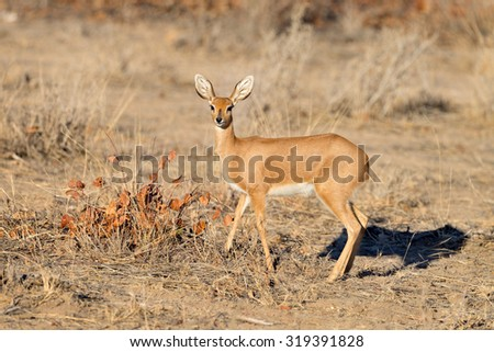 Female steenbok antelope in Etosha National Park, Namibia  - stock photo