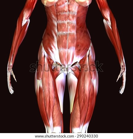 Female Stomach Muscles Stock Illustration 290240330 Shutterstock