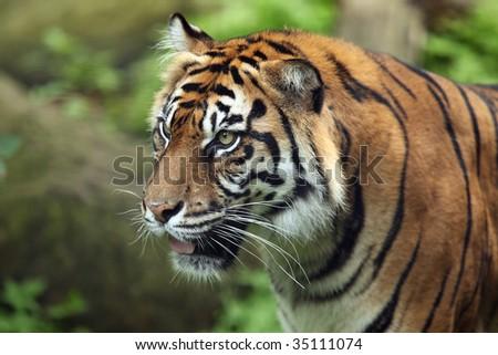 Female Sumatran Tiger against a blurred background. - stock photo
