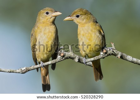 Female Summer Tanagers Perched on a Branch on a Louisiana Autumn Day