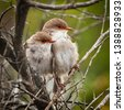 female superb fairy wrens in...
