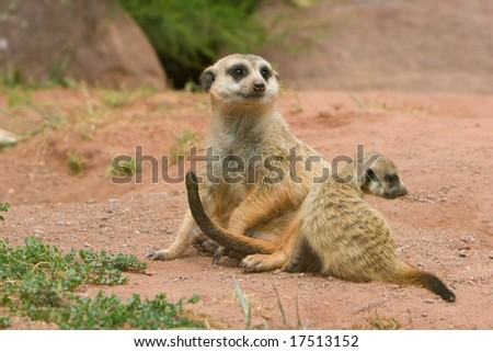 Female Suricate, or Meerkat (Suricata suricata) sitting, with an infant