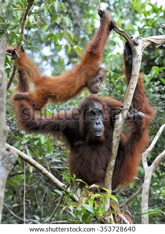 Female the orangutan with the cub in branches of trees. Indonesia.Borneo