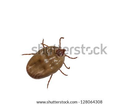 Female tick isolated on white background - stock photo
