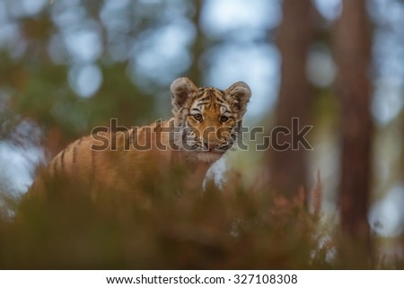 female tiger - stock photo