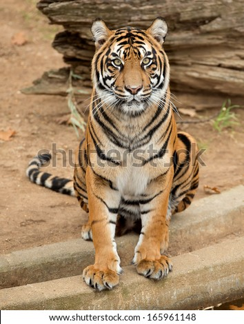 Female tiger sitting and posing for camera. - stock photo