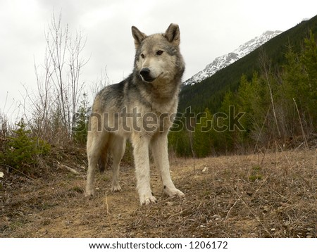 Female Timber Wolf