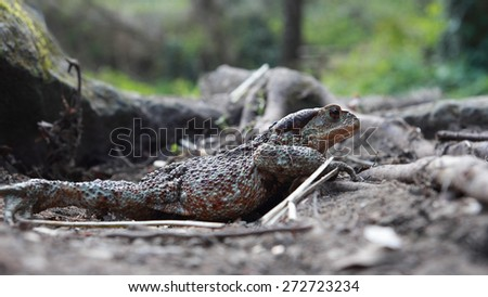 female toad Bufo bufo side view - stock photo