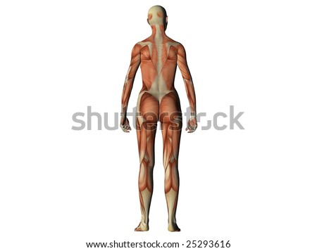 Female torso showing muscles from behind isolated on white
