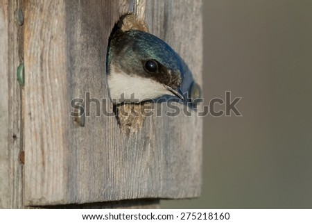 Female Tree Swallow looking out of a bird house. - stock photo