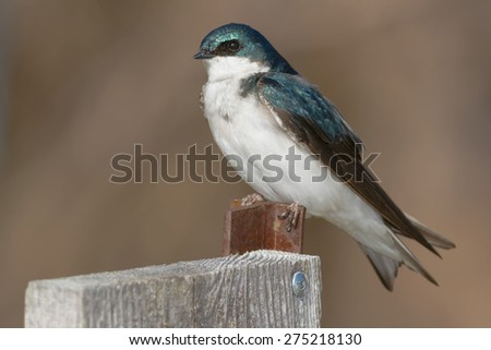 Female Tree Swallow perched on a bird house. - stock photo