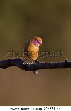 Female Violet-Eared waxbill perched on twig; Granatina granatina - stock photo