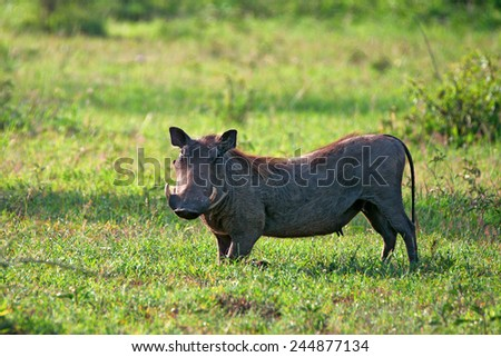 Female warthog in Serengeti national park in Tanzania - stock photo