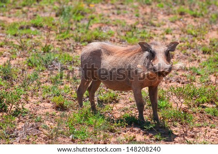 Female warthog, Tanzania - stock photo