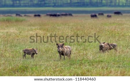Female warthog with calves on Lake Nakuru National Park - Kenya, Eastern Africa - stock photo