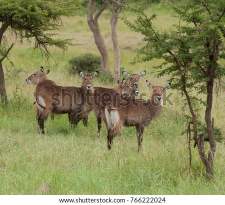 "Female Waterbuck (scientific name: Kobus ellipsiprymnus, or ""Kuru"" in Swaheli) image taken on Safari located in the Serengeti National park, Tanzania"