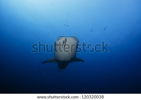 Female whale shark, Rhincodon typus, in Cabo San Lucas, Mexico - stock photo