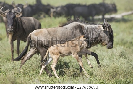 Female White Bearded Wildebeest running with its new born calf,  in the Ndutu area of the Ngorongoro Conservation area of Tanzania. (Connochaetes taurinus mearnsi) February - stock photo