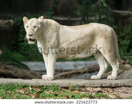 female white lion in zoo, thailand