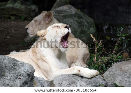 Female white lion lying on the rock - stock photo