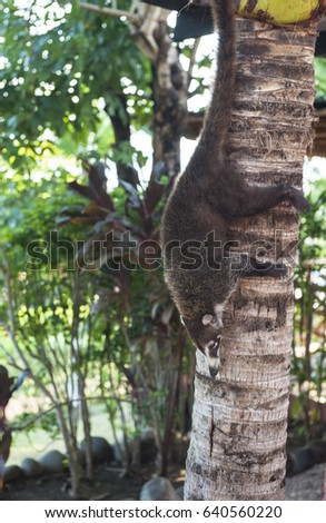 Female white nosed coati climbing down a palm tree head first