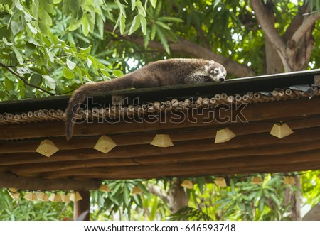 Female white nosed coati sleeping on the roof