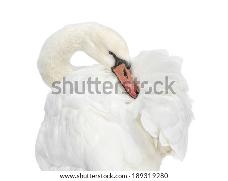 Female white swan grooming � isolated - stock photo