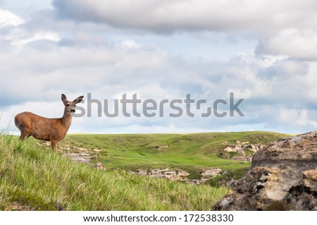Female white tailed deer - stock photo