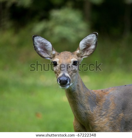 female whitetail deer on a grassy background on a cloudy day