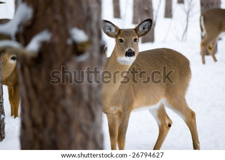 Female whitetail deer standing in the snow and peeking from behind a tree. Image taken in Ottawa, Canada.