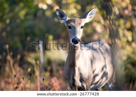 Female whitetail deer staring at the camera. Image taken in the fall, in Ottawa, Canada. - stock photo