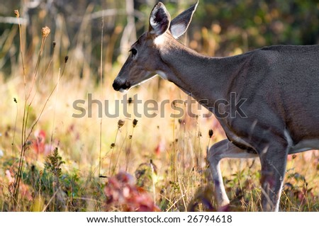 Female whitetail deer walking accross the camera. Image taken in the fall, in Ottawa, Canada. - stock photo