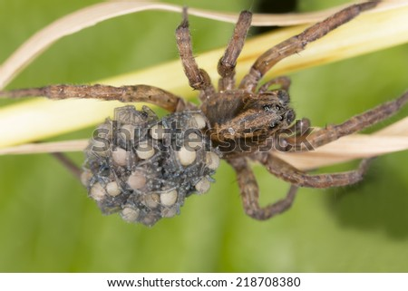 Female Wolf-spider, Trochosa with baby spiders on her back, macro photo  - stock photo