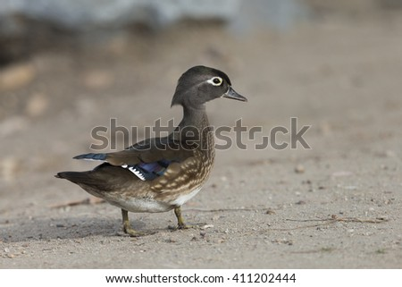 Female Wood Duck - stock photo