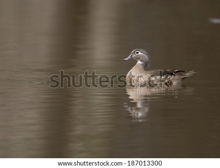 Female wood duck swimming in a small pond in spring - stock photo