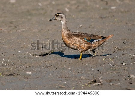 Female Wood Duck walking in the mud. - stock photo