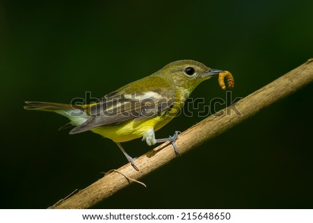 Female yellow-rumped flycatche (Ficedula zanthopygia)  with worm in her nount in nature of Thailand
