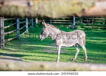 Fenced Mule - stock photo